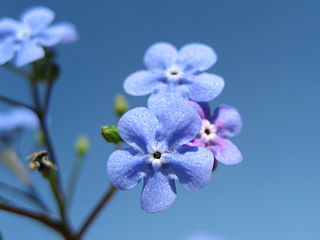 """Forget-me-not and Blue sky"" by Heike Löchel licensed under Creative Commons"